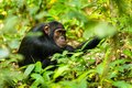 A chimp sitting on the ground in Kibale forest Royalty Free Stock Photo