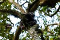 A chimp is sitting on a tree in the Kibale forest Royalty Free Stock Photo