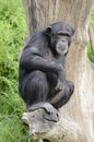 Chimp on a tree Stock Images