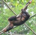 Chimpanzee resting on wood poles
