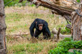 Chimp youngster in nature Royalty Free Stock Photo