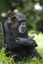Chimpanze Royalty Free Stock Photo