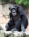 Chimpanzee Royalty Free Stock Photo