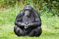 Chimpanzee ape Royalty Free Stock Image
