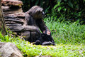 Chimpanzee with babe sitting in singapore zoo Royalty Free Stock Photos