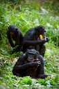 Chimpanzee Bonobo. Royalty Free Stock Photos