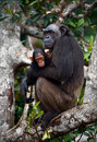 Chimpanzee with a cub on mangrove branches. Royalty Free Stock Image
