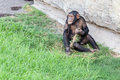 Chimpanzee eating grass one with their hands Stock Image
