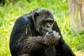 Chimpanzee Royalty Free Stock Photo