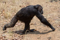 Chimpanzee gait male eastern walking across grassland Stock Photography