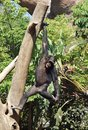 Chimpanzee hanging from Tree Royalty Free Stock Image
