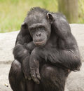 Chimpanzee huddled on a rock Royalty Free Stock Images