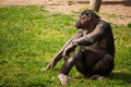 Chimpanzee in lisbon zoo alone sitting portugal Royalty Free Stock Images