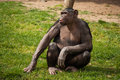 Chimpanzee in lisbon zoo alone sitting portugal Royalty Free Stock Image