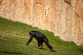 Chimpanzee in lisbon zoo alone walking portugal Royalty Free Stock Images