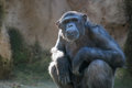 Chimpanzee looking with attention at something extreme Royalty Free Stock Photo