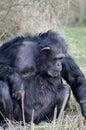 Chimpanze eating Royalty Free Stock Photo