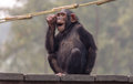 stock image of  Chimpanzee makes a funny expression at a wildlife sanctuary in India.