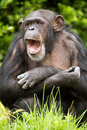 Chimpanzee male against a background of light green grass and foliage Stock Image