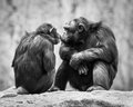 Chimpanzee pair couple sharing a sweet kiss Royalty Free Stock Photos