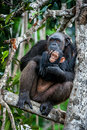 Chimpanzee (Pan troglodytes)  with a cub on mangrove branches. Royalty Free Stock Photo
