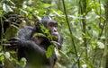 Chimpanzee ( Pan troglodytes ) in the jungle. Royalty Free Stock Photo
