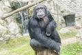 Chimpanzee, Pan troglodytes, Pan paniscus Royalty Free Stock Photo