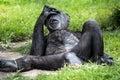 Chimpanzee - Pan Troglodytes Portrait. Royalty Free Stock Photo