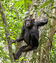 Chimpanzee ( Pan troglodytes ) resting on the tree in the jungle Royalty Free Stock Photo