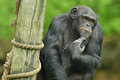 Chimpanzee portrait captive pan trodglodytes Royalty Free Stock Photo