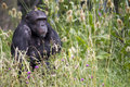 Chimpanzee sat in tall grass Royalty Free Stock Photo