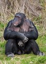 Chimpanzee sitting in a human position Stock Photography