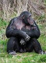 Chimpanzee sitting in a human position Royalty Free Stock Photo