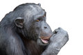 Chimpanzee sucking his thumb isolated Royalty Free Stock Images