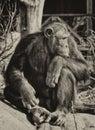 Chimpanzee Thinking About Things