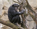 Chimpanzee in a tree Stock Images