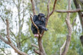 Chimpanzee in a tree Royalty Free Stock Photo