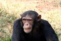 Chimpanzee wildlife shot gombe national park tanzania Stock Image