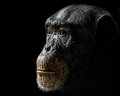 Chimpanzee XXIV Royalty Free Stock Photo