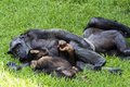 Chimpanzees family of where the mother is breast feeding to the baby Stock Image