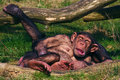 Chimpanzees taking a nap Stock Image