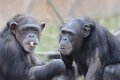 Chimps eating peanuts Royalty Free Stock Photography