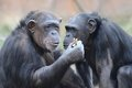 Chimps eating peanuts2 Royalty Free Stock Photo