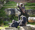 Chimps at play Royalty Free Stock Photo