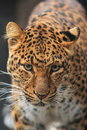 China leopard Royalty Free Stock Image