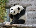 China. Panda at Beijing Zoo Royalty Free Stock Photo