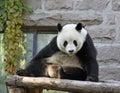 China. Panda at Beijing Zoo