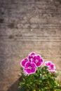 China Pink, Indian Pink flower. Royalty Free Stock Photo