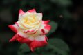 China rose rosa flower Royalty Free Stock Photo