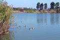 China wetlands nature reserve geese on water a photograph showing a flock of swimming the blue in a park in location is xiazhuhu Stock Image